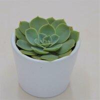 Echeveria glauca - 6cm
