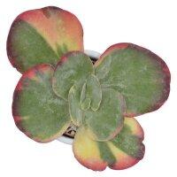 Kalanchoe thyrsiflora Rainbow - 6cm