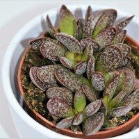 Adromischus Calico Hearts - 8,5cm