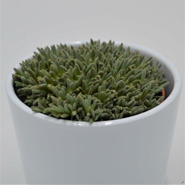 Delosperma sphalmantoides - 8,5cm