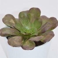 Aeonium arboreum Velours - 8,5cm
