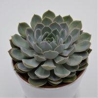 Echeveria Grande Cinza - 15cm