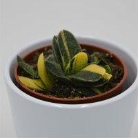Gasteria bicolor f. variegata - 8,5cm