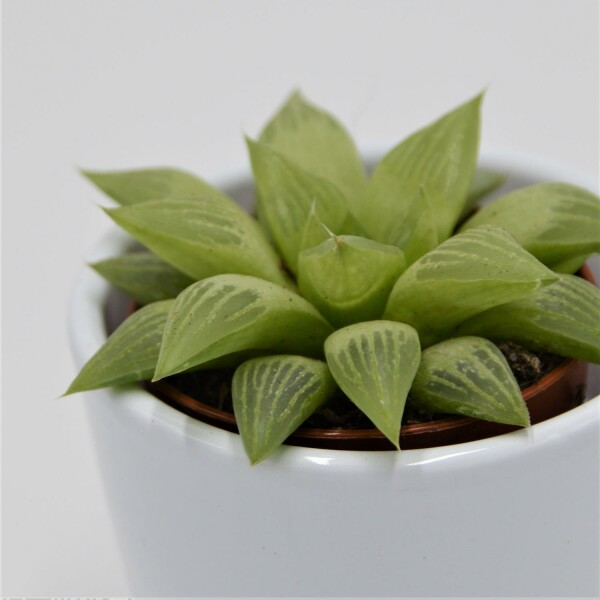 Haworthia turgida - 5,5cm