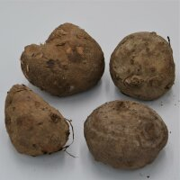 Stephania erecta - Caudex Ø 7-9cm