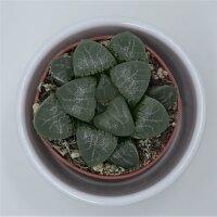 Haworthia bayeri -  5,5cm