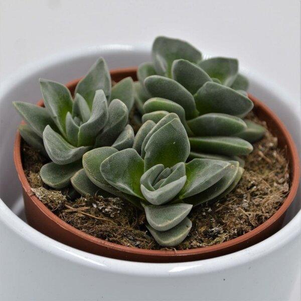 Crassula ssp. - 8,5cm