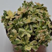 Aeonium domesticum f. variegata - 13cm