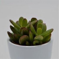 Crassula ovata Convoluta - 5,5cm