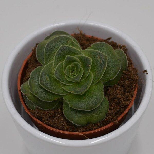 Crassula capitella v. turrita - 8,5cm