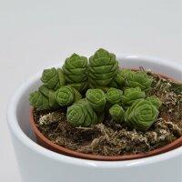 Crassula columella - 8,5cm