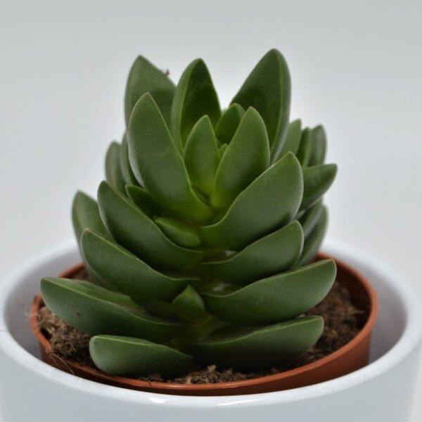 Crassula Benjamin - 8,5cm