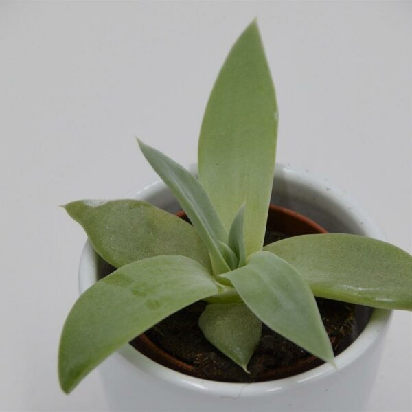 Dudleya brittonii - 5,5cm