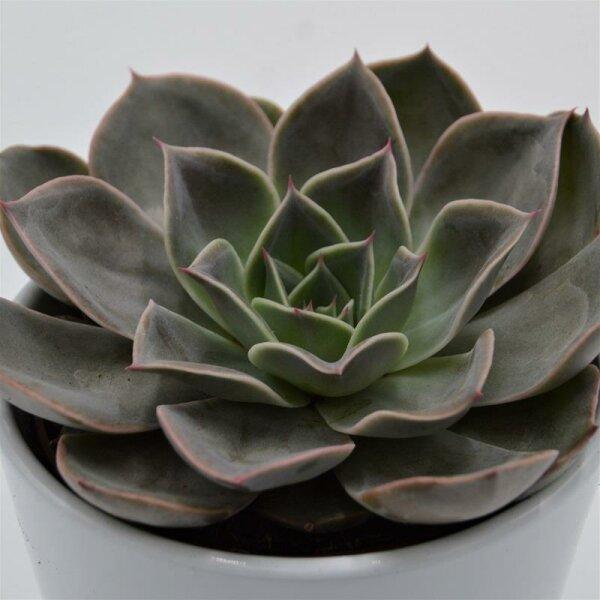 Echeveria Costa - 10,5cm