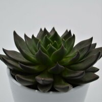 Echeveria Black Knight - 10,5cm