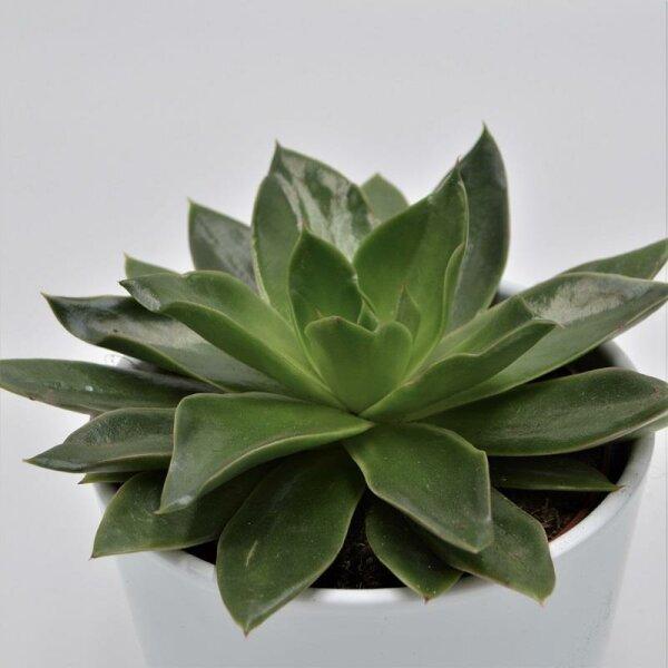 Echeveria Mexicana - 12cm