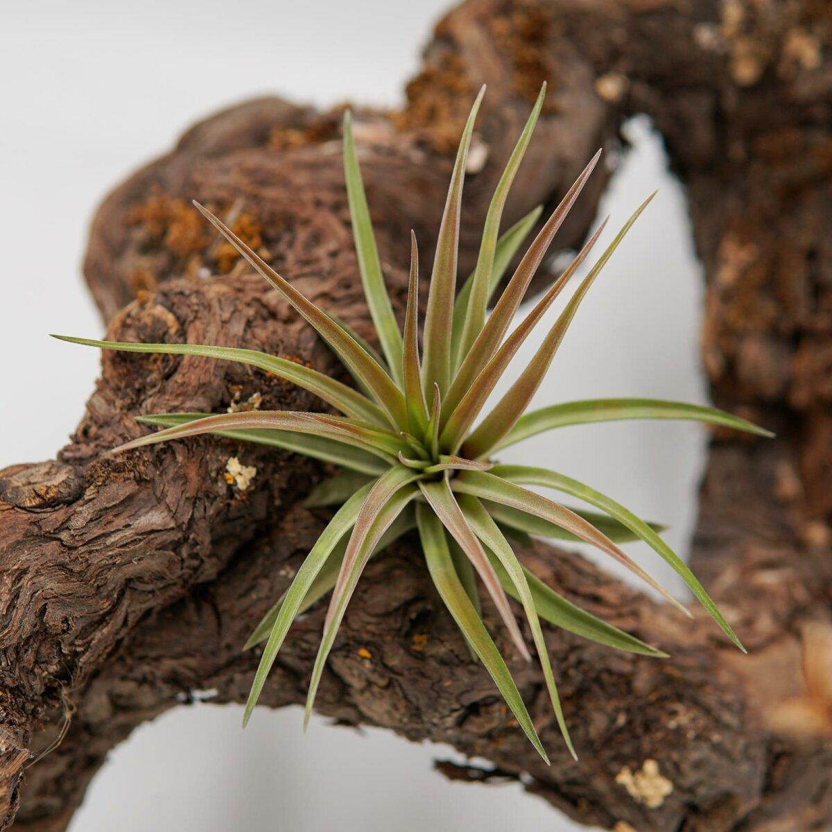 Tillandsien Kaufen tillandsia brachycaulos var multiflora pasiora