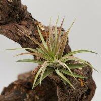 Tillandsia brachycaulos var. multiflora