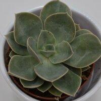 Echeveria Green Pearl - 9cm
