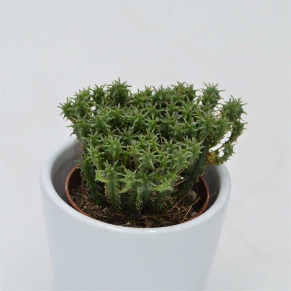 Euphorbia cristata - 5,5cm