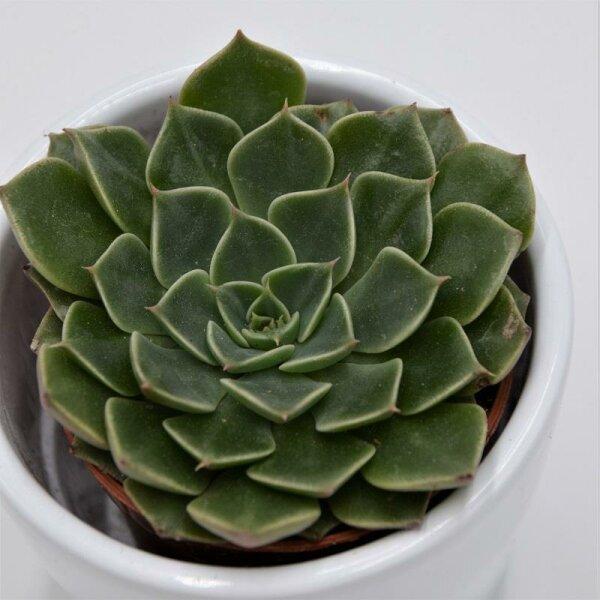 Graptopetalum bellum - 5,5cm