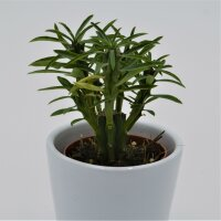 Euphorbia loricata - 5,5cm