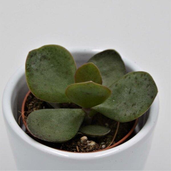 Adromischus rupicola - 5,5cm