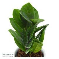 Zamioculcas zamiifolia - 6cm