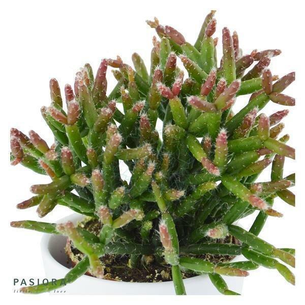 Rhipsalis burchellii - 6cm