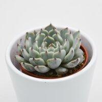 Echeveria cuspidata var. gemmula - 5,5cm