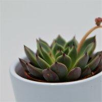 Echeveria Black Tip - 5,5cm