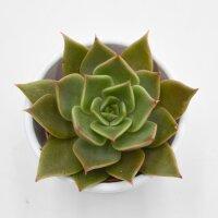 Echeveria Crystal Rose - 5,5cm