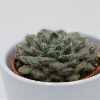 Echeveria setosa var. ciliata - 5,5cm