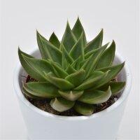 Echeveria Green Ebony - 8,5cm