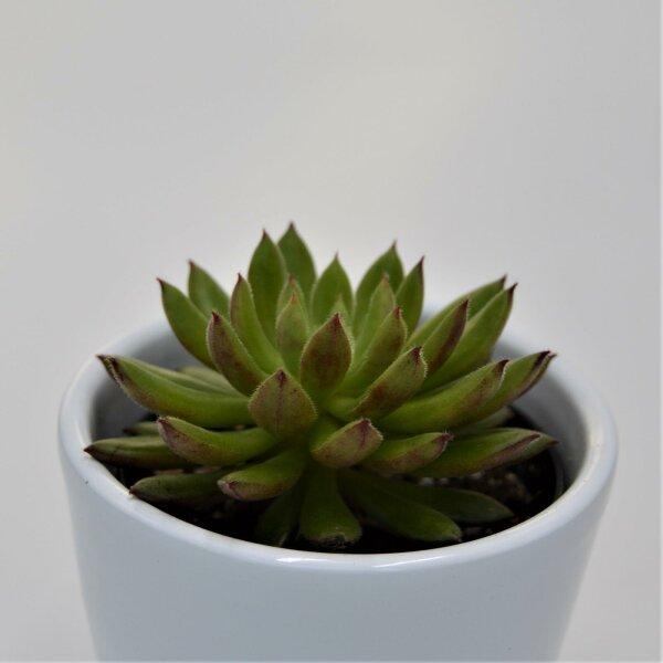 Echeveria Spruce Oliver - 6cm