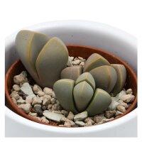 Lapidaria margaretae - 5,5cm