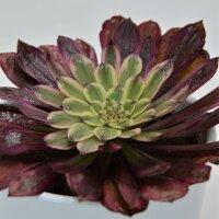 Aeonium Mardi Gras - 10,5cm