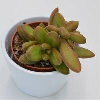 Sedum nussbaumerianum - 8,5cm