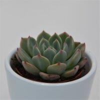Echeveria Blue Minima - 5,5cm