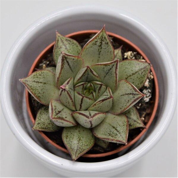Echeveria purpusorum White Form - 5,5cm