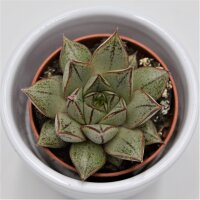 Echeveria purpusorum White Form - 5,5cm