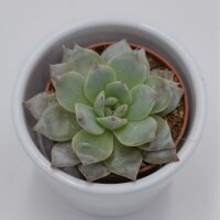 Echeveria Blue Bird - 5,5cm