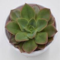 Echeveria Salsa Verde - 8,5cm