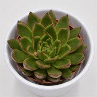 Echeveria Red Tip - 8,5cm