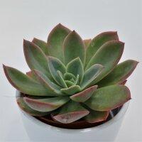 Echeveria Luella - 8,5cm