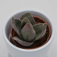 Crassula Garnet Lotus - 5,5cm
