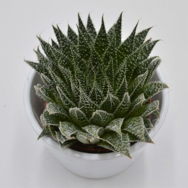 Aloe Magic - 8,5cm