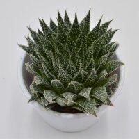 Aloe Magic - 8,5cm