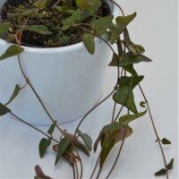 Ceropegia woodii Orange - 8cm