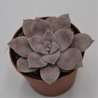 Graptopetalum pentandrum ssp superbum - 6,5cm